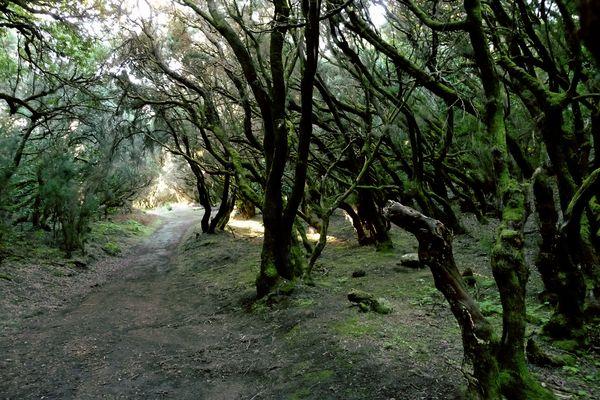 Loorbeerwald bei Las Hayas