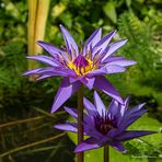 L'or du Lotus bleu