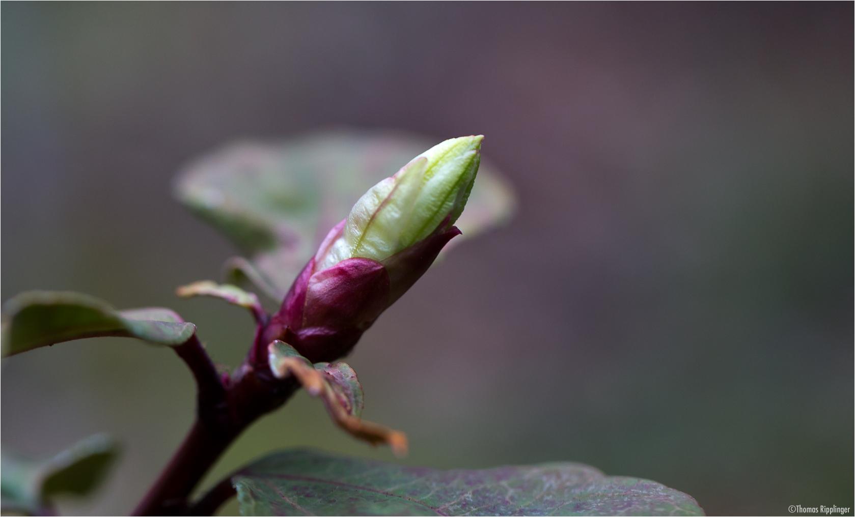 Lorbeerblättrige Johannisbeere (Ribes laurifolium)
