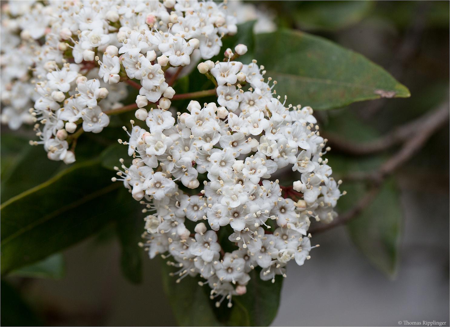 Lorbeerblättriger Schneeball (Viburnum tinus)