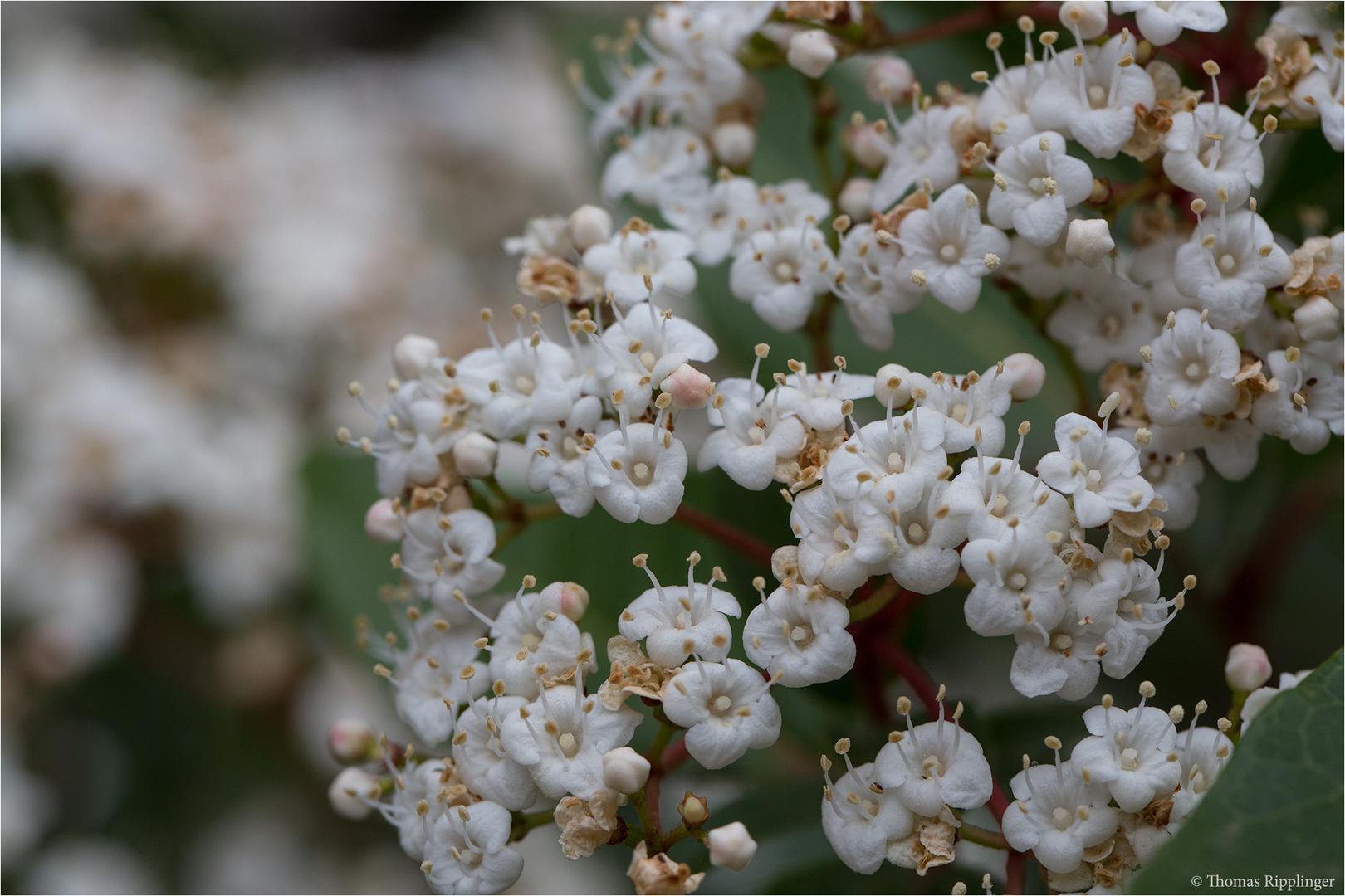 Lorbeerblättriger Schneeball (Viburnum tinus).
