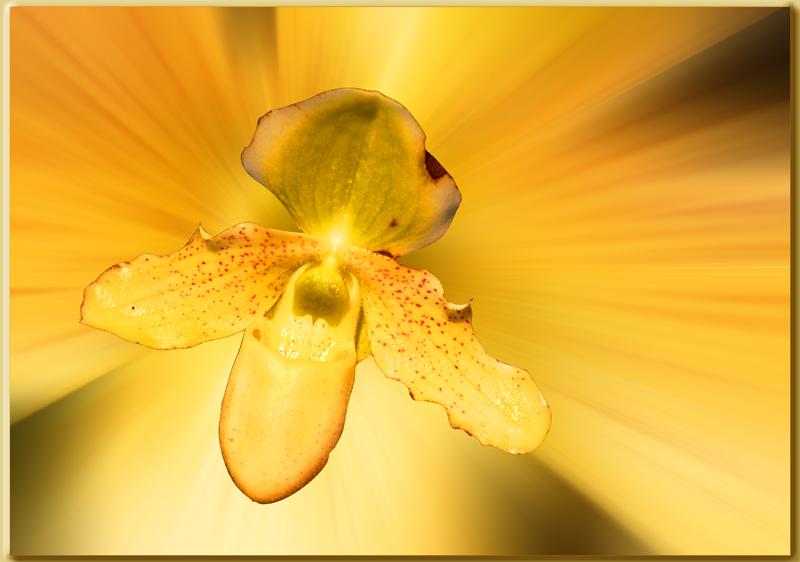 l'orchidée jaune