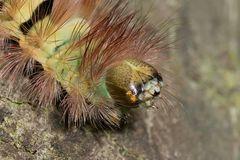 L'Orgye pudibonde (Calliteara pudibunda, famille Erebidae)