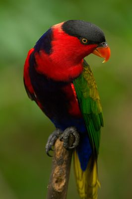 Lori im Jurong Bird Park - Singapur
