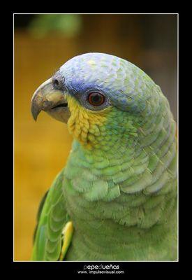 Loro Verde Amazonico