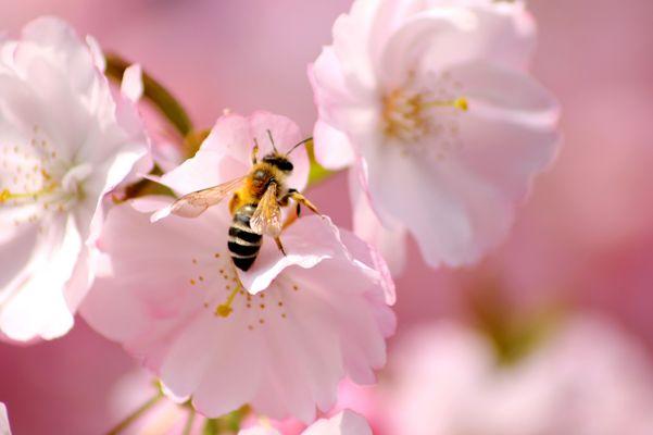 Lorsque les cerisiers fleurissent