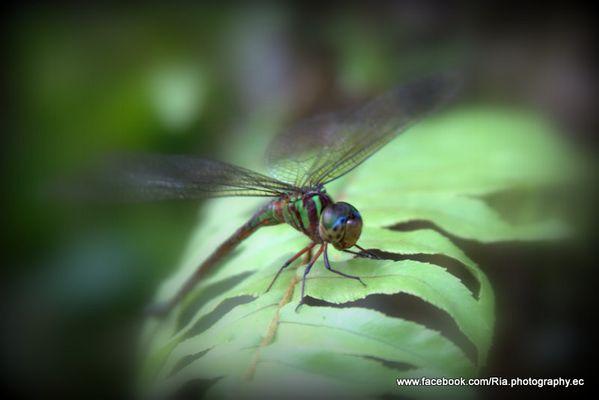 Los colores de la libélula