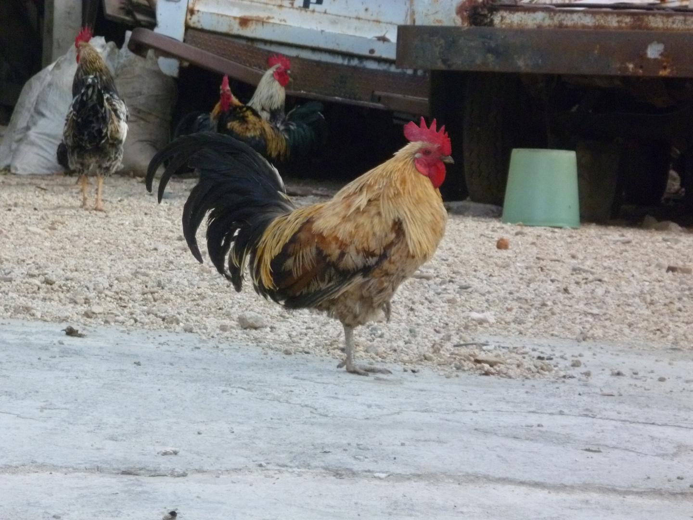 los gallos de mi tia geña
