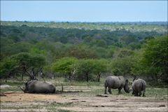 Los rinocerontes