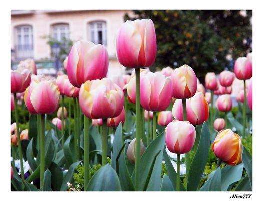 Los tulipanes (primavera)