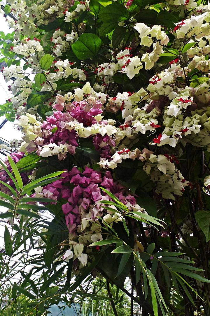 Losbaum im Botanischen Garten Jena