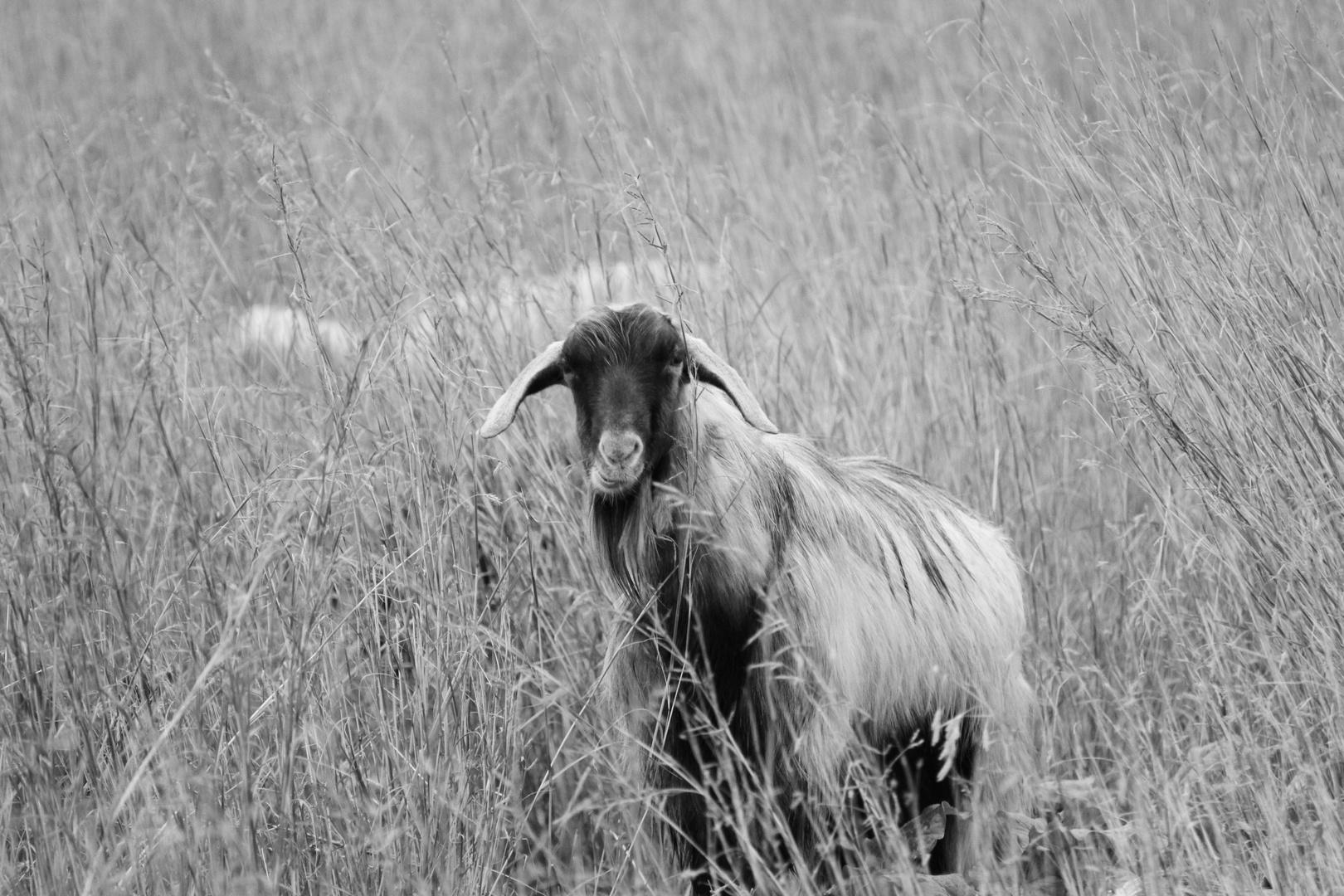 L'osservatore... capra di montagna