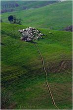 Lost sheep....