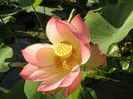 Lotosblüte aus sommerlichen Tagen