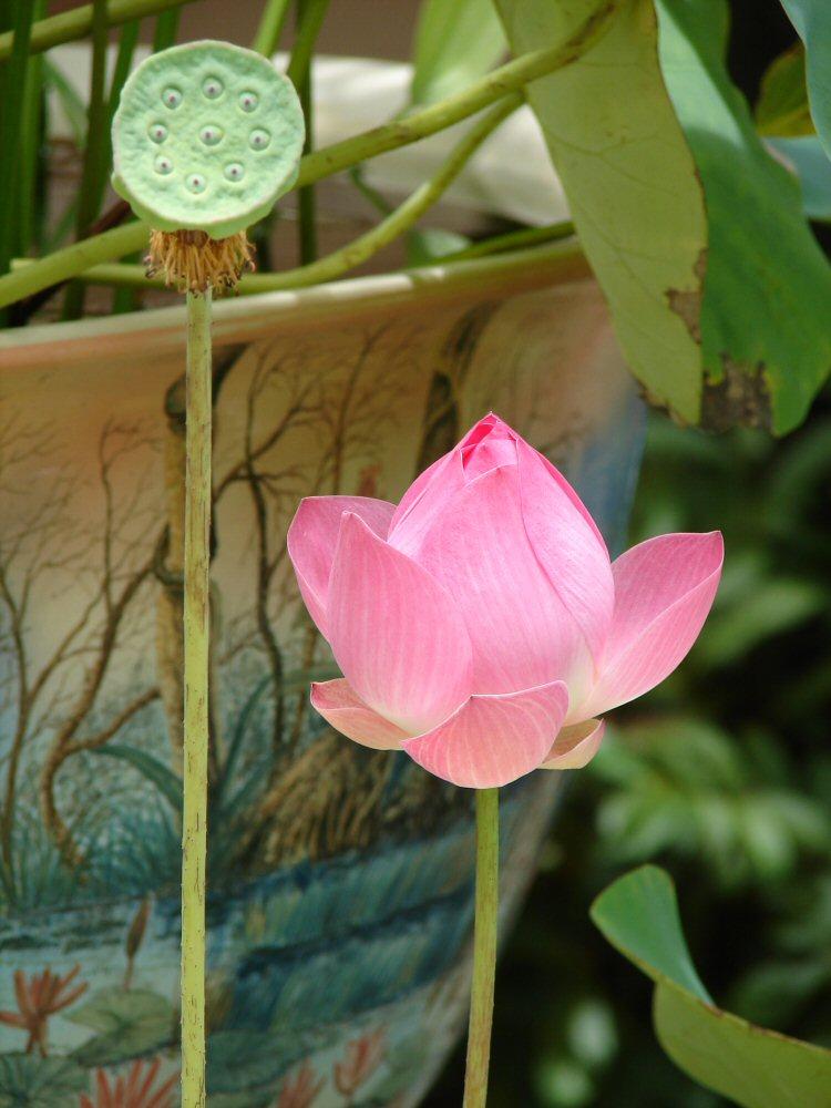 Lotosblume und Stempel