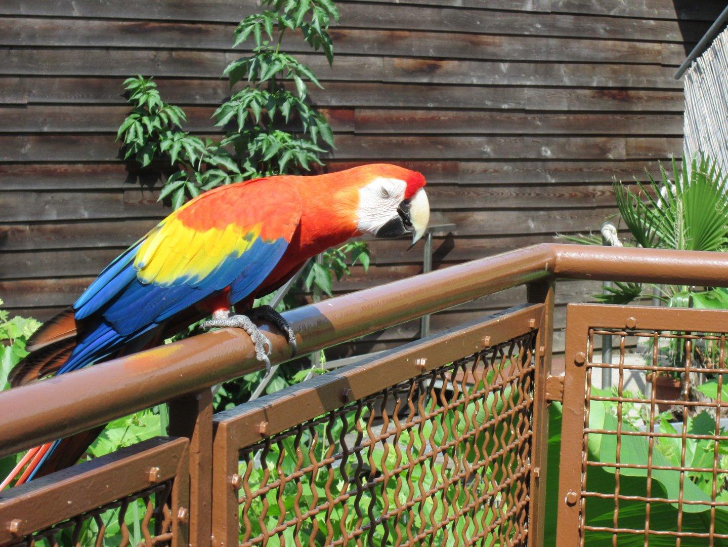 Lotti die Aradame aus dem Kölner Zoo