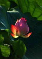 Lotus Blüte 01