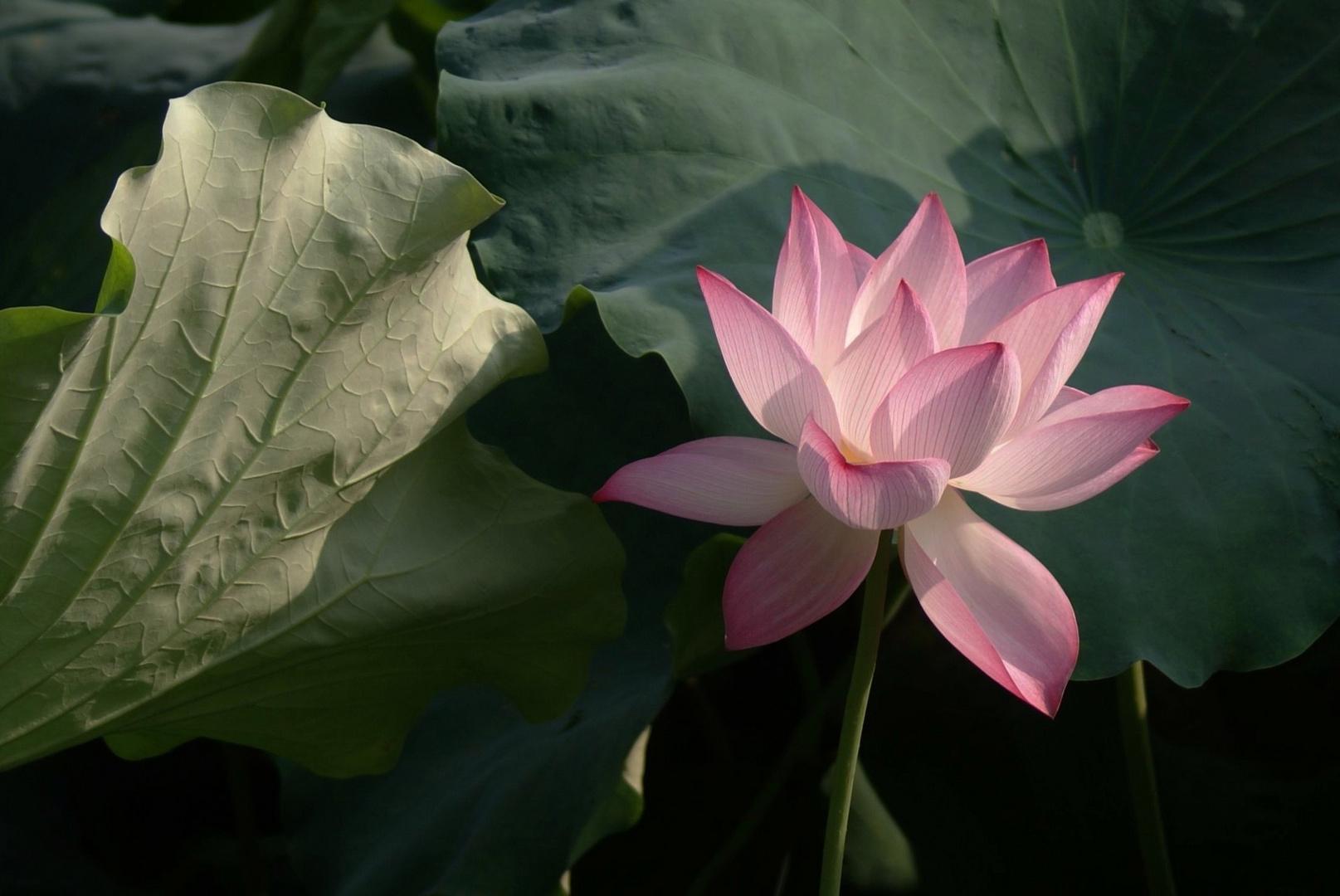 Lotus Blüte 07