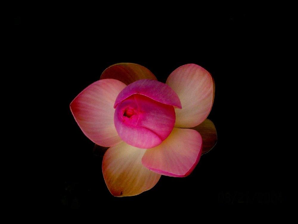 Lotus bouche cousue