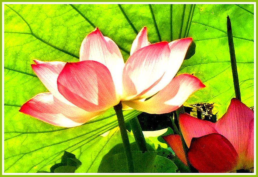 Lotus de Chine