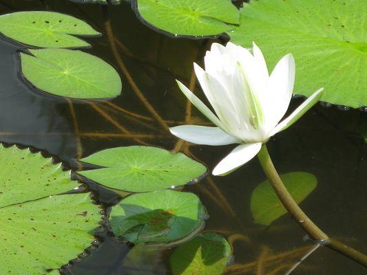 lotus de Malaisie 1