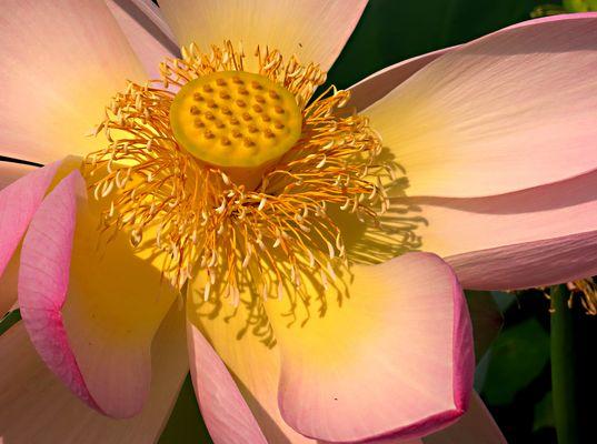 Lotus Flower IV