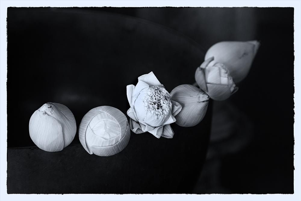 Lotus - Gefaltet