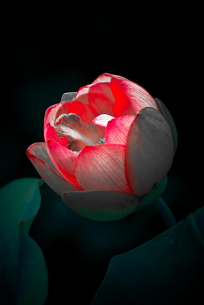 lotus hiver