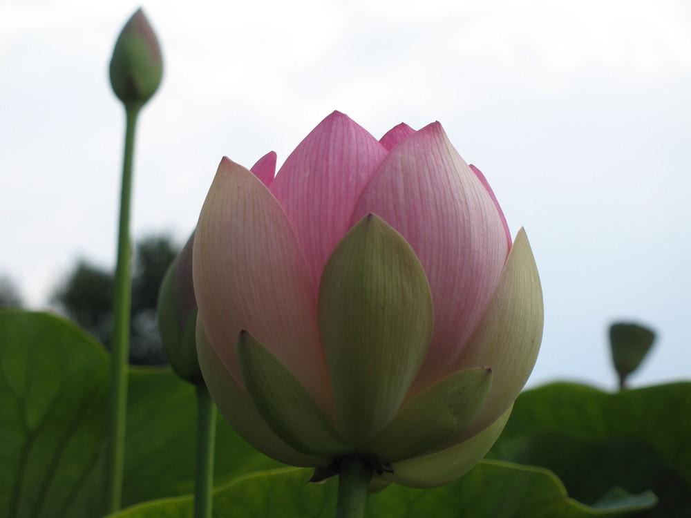 Lotus im Arboretum