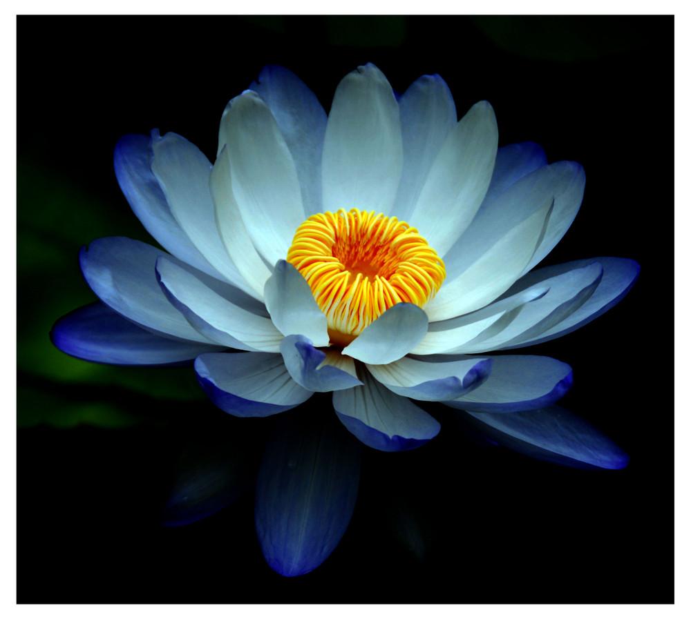 Lotus in Blau 2