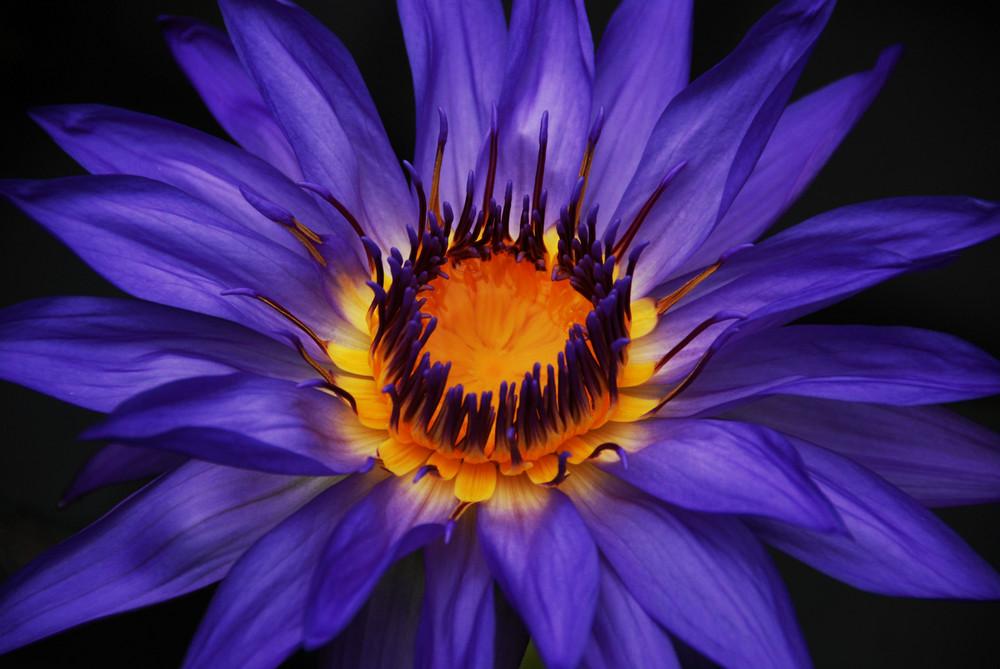 Lotus in Blau