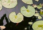 Lotus in Engel - Teich