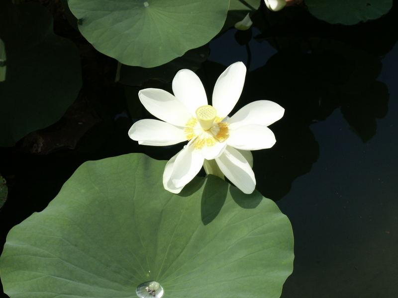 Lotus in Meran