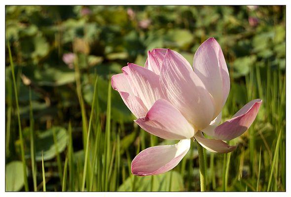 Lotus - Ratanakiri, Kambodscha
