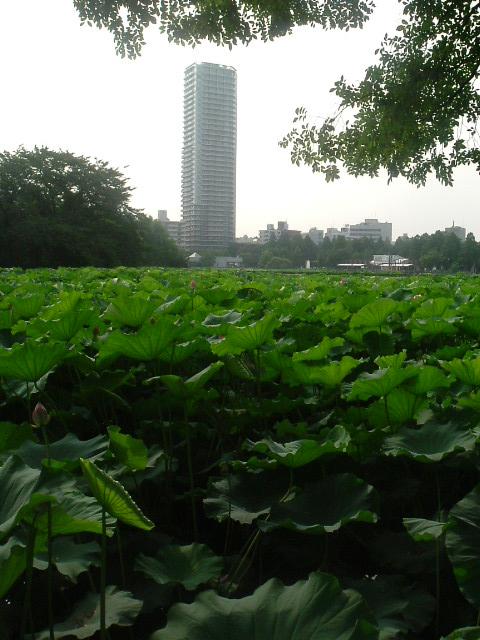 Lotus urbain - Tokyo