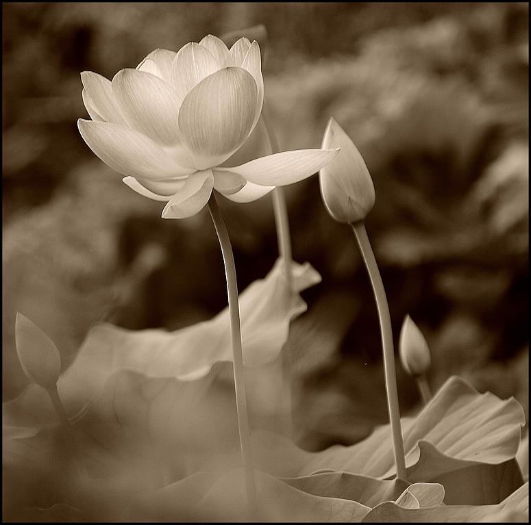 Lotusblüte ..