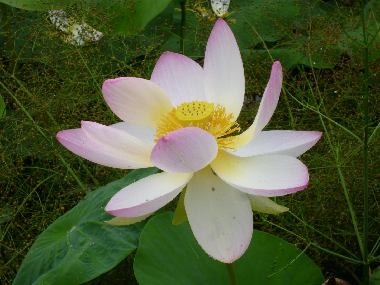 Lotusblüte im Arboretum