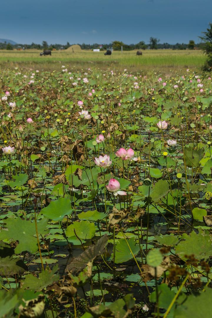 Lotusblütenfelder