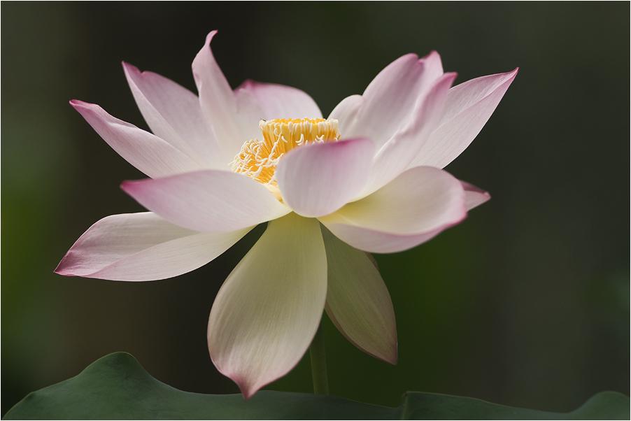 Lotusblume II