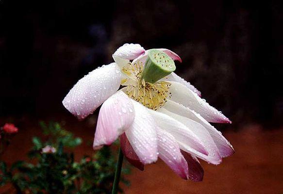 Lotusblume nach dem Regen