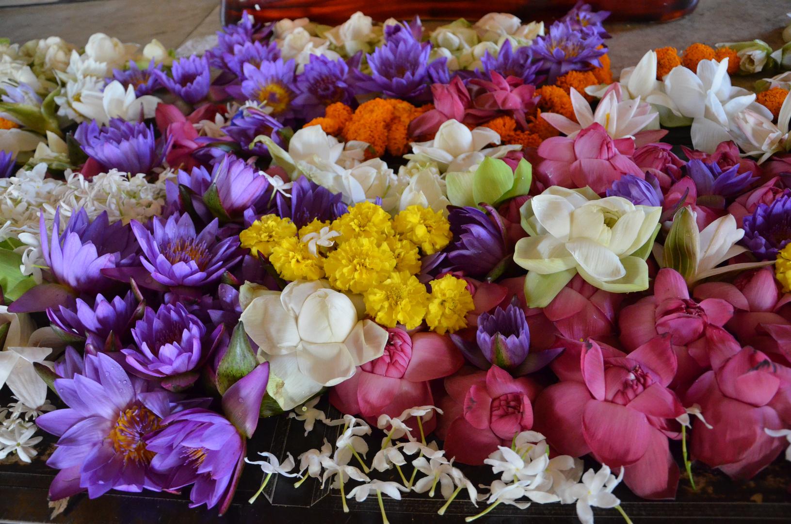 Lotusblumen - Sri Lanka