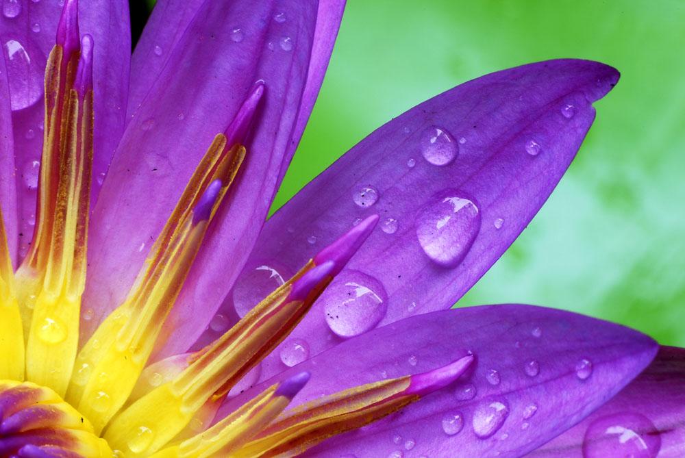 Lotusdetail