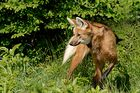 Loup à criniere