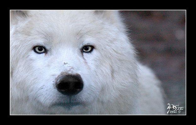 Loup Arctique....