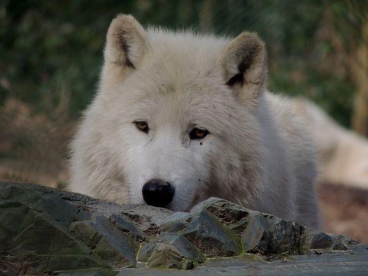 Loup arctique du Canada