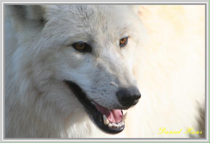 loup blanc de sibérie à Ste Croix
