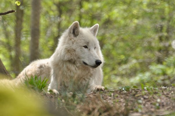 Loup Blanc du Parc Werner Freund