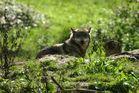 Loup dans le parc animalier de Ste Croix à Rhodes