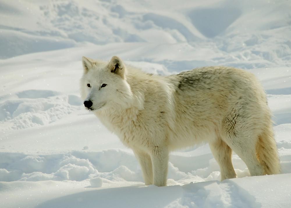 Loup de l'arctique