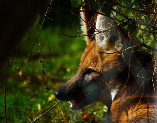 loup en alerte